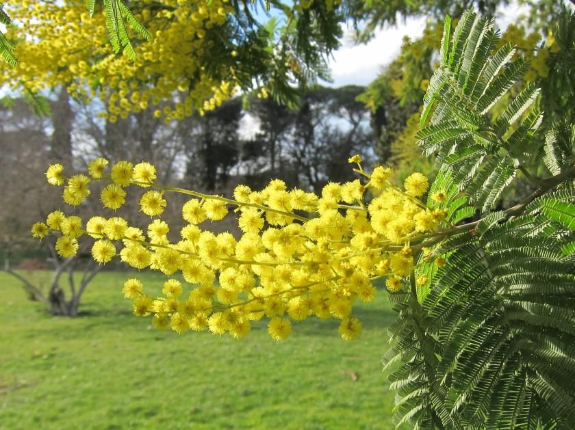 Kukkiva mimosa Villa Pamphiljissa helmikuun alkupuolella