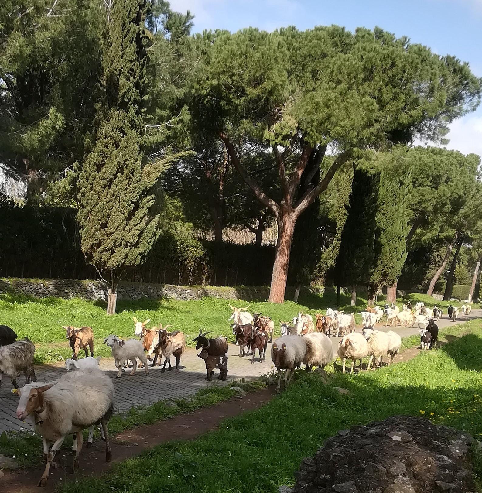 Lampaita ja pässejä