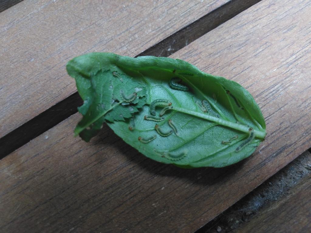 Pieniä vihreitä tuokkia lehdellä.