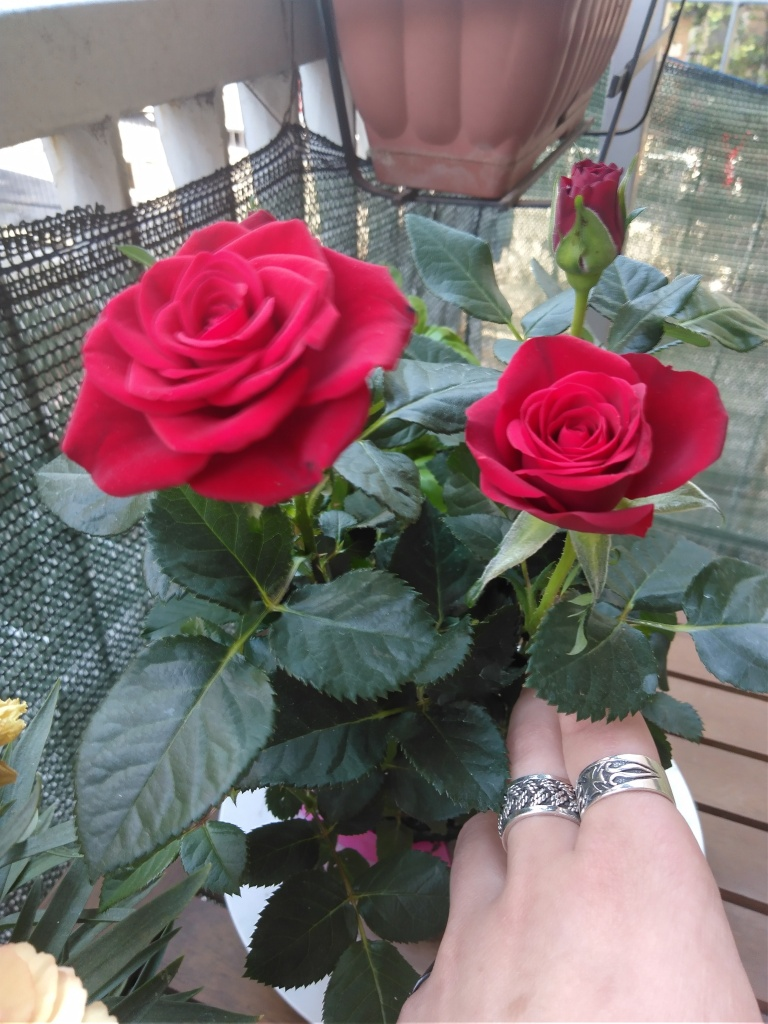 Punainen ruusu ruukussa.